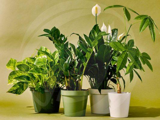 Hướng dẫn cách chăm sóc cây nội thất