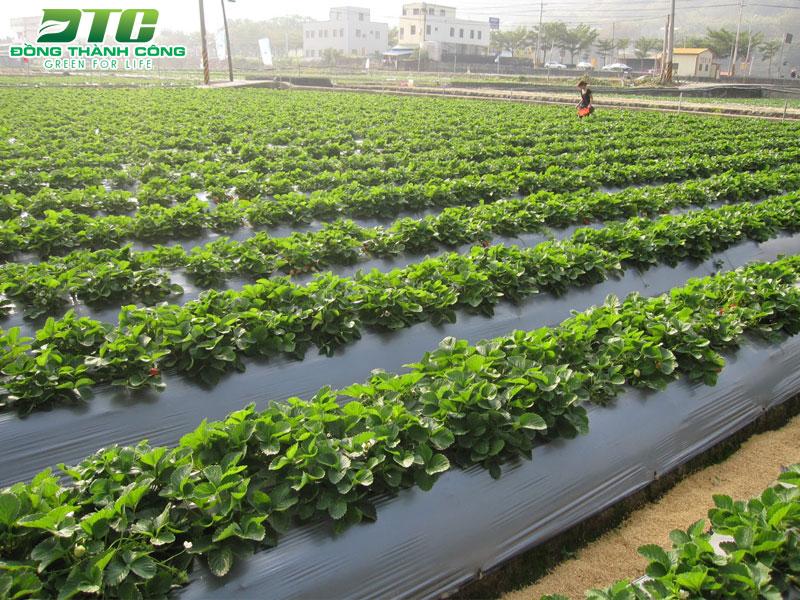 Kỹ thuật sử dụng màng phủ nông nghiệp
